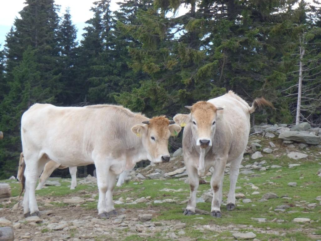 Zwei Rinder